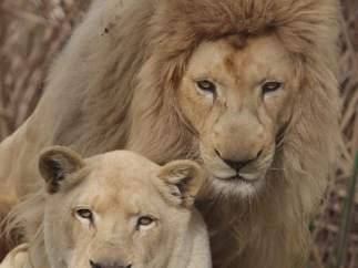 Los leones son la principal atracción