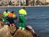 Tiburón muerto en Santa Pola