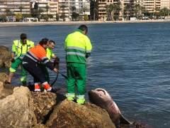 Localizan en la playa de Santa Pola un tiburón muerto de casi 4 metros y 200 kilos