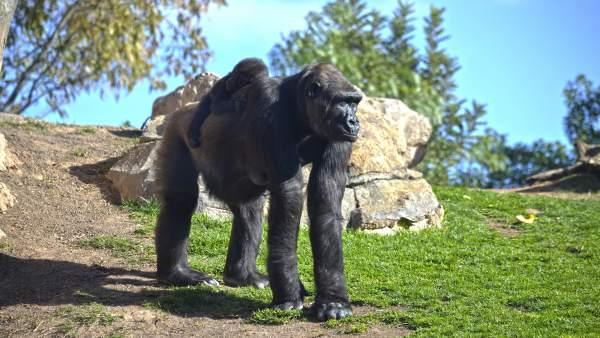 Bioparc celebra aquest cap de setmana el seu desé aniversari amb  espectacles i sorpreses per a visitants i animals