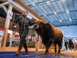 Vaca de exposición