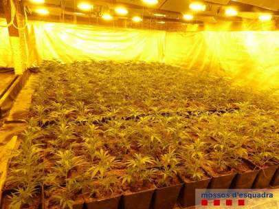 Plantación de marihuana en Castelló de Empúries