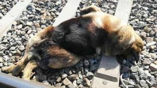 Perro fallecido en las vías del tren