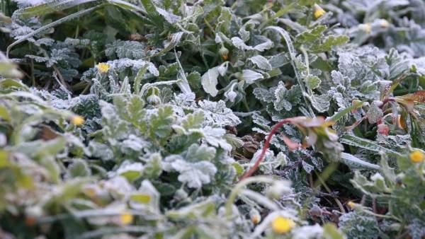Escarcha, Helada, hielo, frio, temperaturas, temporal, nieve, Flores, Plantas