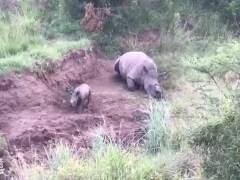 Graban cómo un rinoceronte bebé trata de amamantarse de su madre muerta