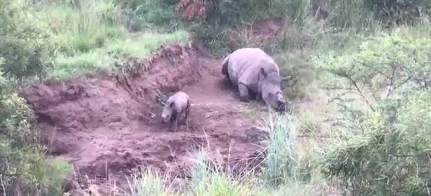 Un rinoceronte bebé trata de amamantarse de su madre muerta