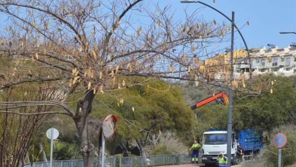 Operario árboles en Rincón de Victoria poda contra las moreras fruto que ensucia