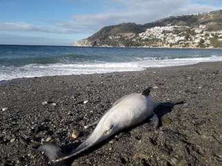 Delfín muerto