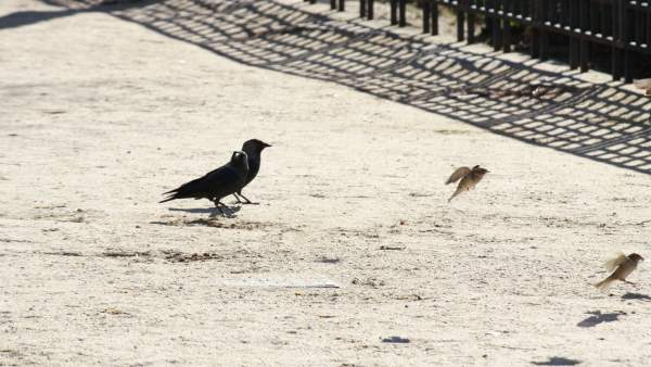 Cuervo, Pájaro, Pajarito