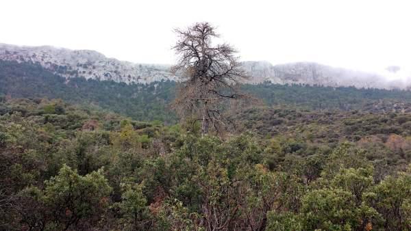 Pino en sierra de Almería