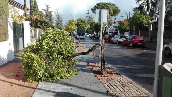 Efectos del temporal de viento con caída de árboles en Córdoba