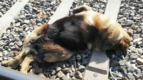 Perro fallecido junto a las vías del tren