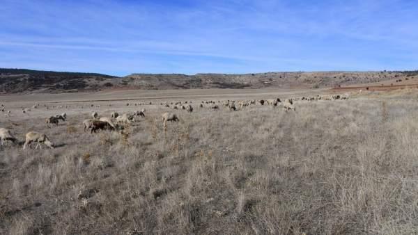 Ovejas, rebaño, ganado ovino
