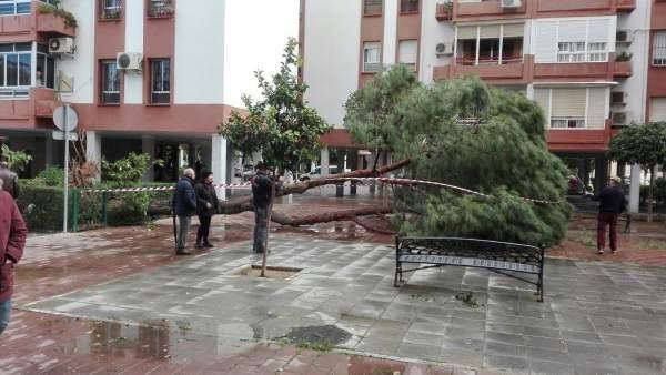 Un árbol caído por las rachas de viendo en Sevilla