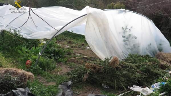 Invernadero clandestino desmantelado por la Guardia Civil