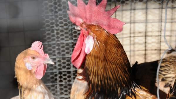 Gallos y gallinas serán protagonistas de Avicor