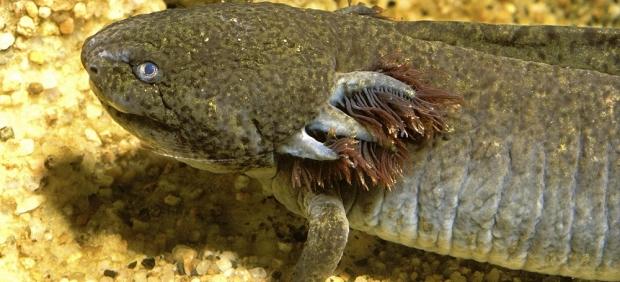 Ajolote o axolotl