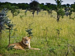 Joven león