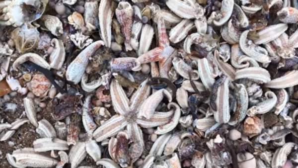 Miles de estrellas de mar mueren en una playa de Reino Unido por la Bestia del Este