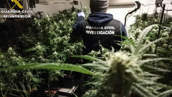 Confisquen 1.170 plantes de marihuana en dos cases de la Drova Barx i Rafelguaraf