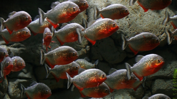 Pirañas rojas