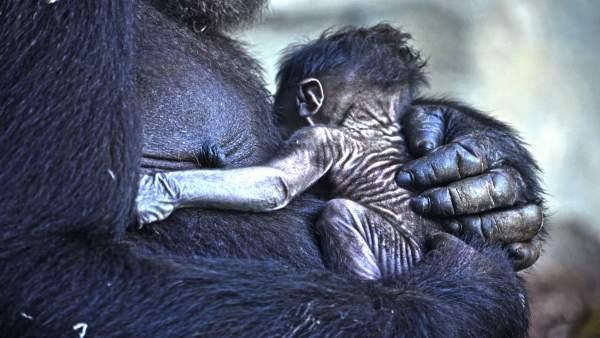 Naix el quart goril·la en Bioparc València