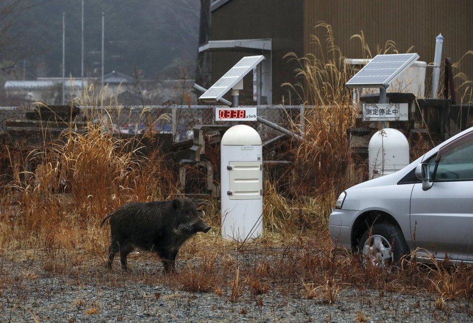 Vigilando la radioactividad. Un jabalí se detiene en un puesto de monitoreo de contaminación radiactiva, en Futaba, prefectura de Fukushima (Japón).