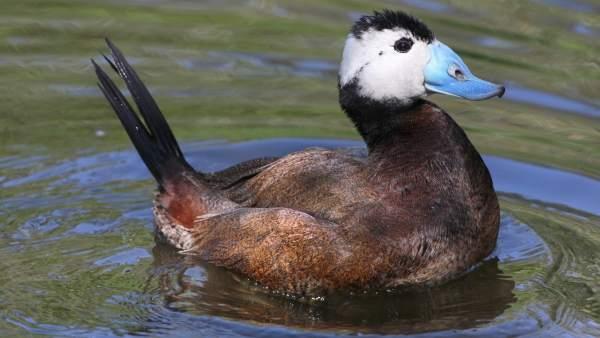 Malvasía cabeciblanca ave pico azul