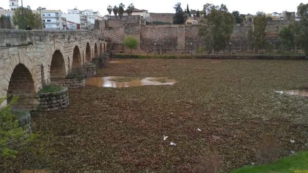 El camalote ocupa el rio Guadiana en Mérida tras romperse las barreras