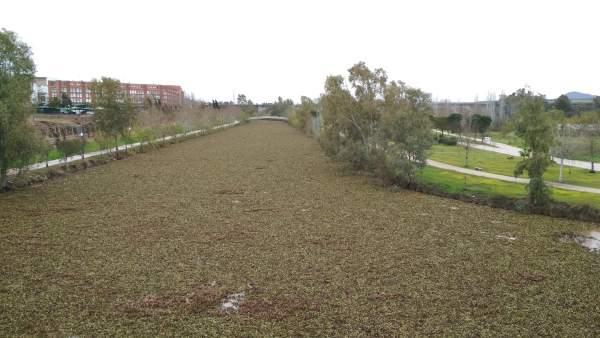 El camalote cubre por completo el canal del Guadiana en Mérida