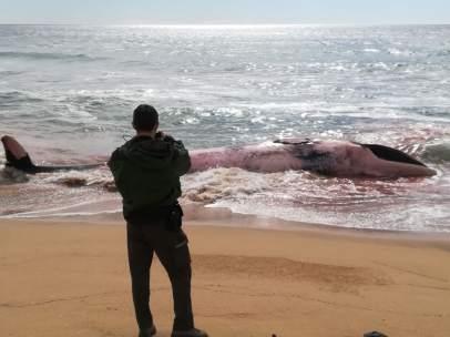Ballena encontrada en la playa de Montgat (Barcelona)
