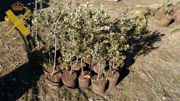 Plantas intervenidas a los dos investigados.