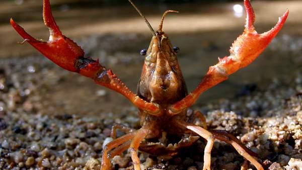 Cangrejo rojo de río, especie invasora