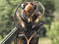 El avance de la avispa asiática impulsa a buscar medidas más efectivas