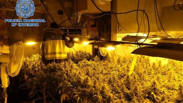 Plantación de marihuana en chalet de Sanlúcar