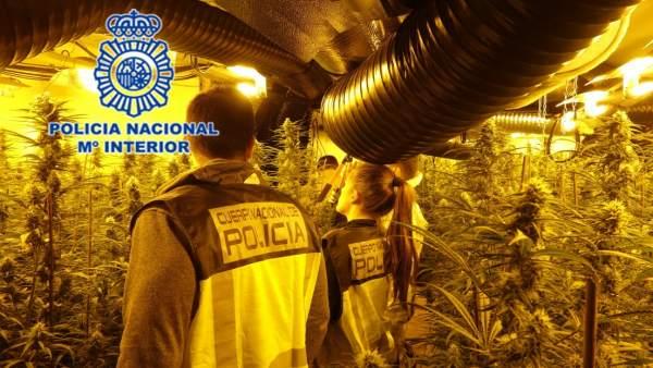 1.179 Plantas De Marihuana En Un Chalé En Oviedo