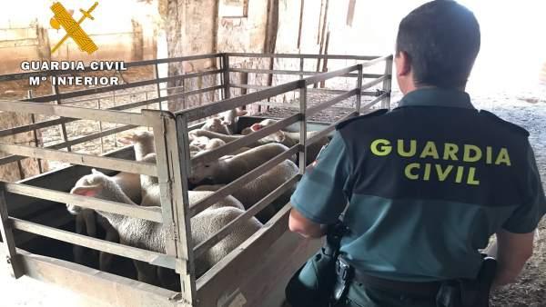 La Guardia Civil, con ganado, tras la operación Zepa Guadiato de Córdoba