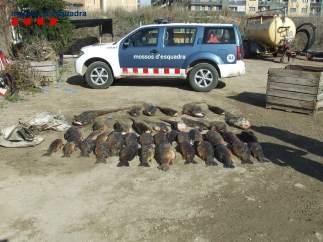 Carpas y siluros pescados ilegalmente en Segrià (Lleida)