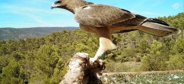 Navarra continúa con la protección del águila de Bonelli