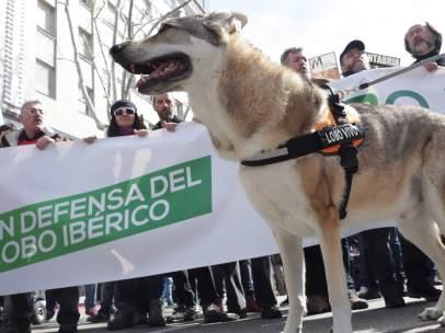 Manifestación para la Conservación del Lobo
