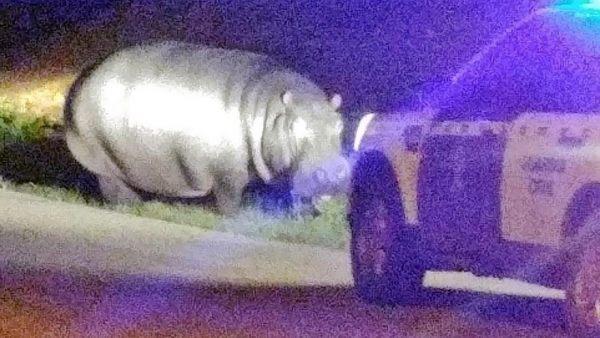 Hipopótamo a la fuga