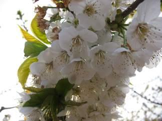 Imagen de archivo de un cerezo en flor.