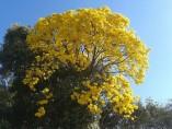 Ejemplar de árbol Lapacho amarillo.