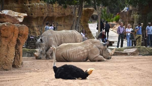 Bioparc València proposa en Setmana Santa donar el 'Bon dia' a girafes i la 'Bona nit' a hipopòtams