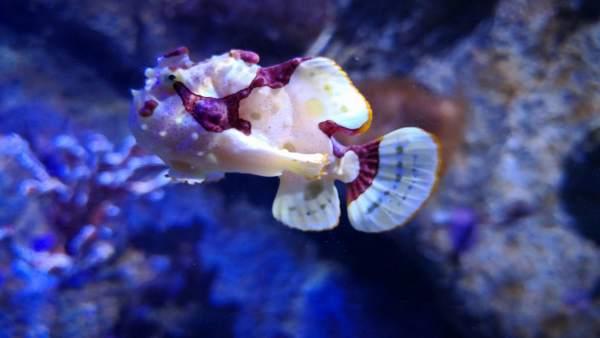 Pez sapo en la exposición Misterios del Mar, de l'Oceanogràfic