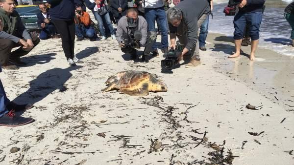 Liberación en la playa de s'Amarador (Santanyí) de una tortuga rescatada