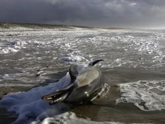 Delfín (Dolphinus Delphis) muriendo en una playa de la Bretaña francesa.