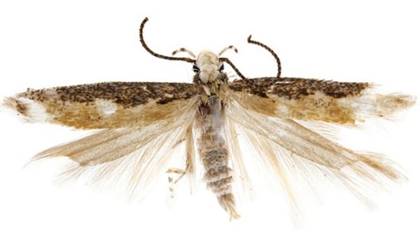 Neopalda donaldtrumpi bicho polilla trump