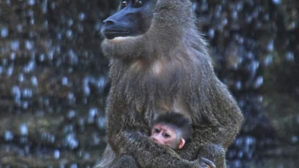 Naix una cria de Dril en Bioparc, un dels primats més amenaçats d'Àfrica