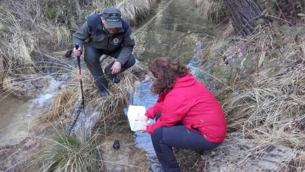 Junta libera a cangrejos autóctonos en arroyos